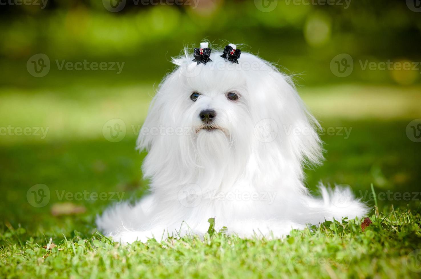 perro maltés acostado foto