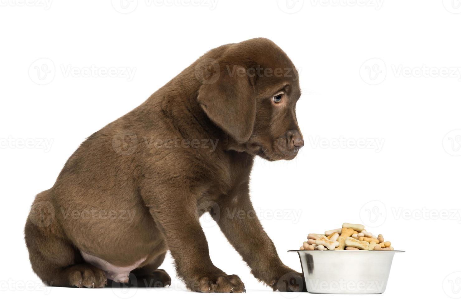 cachorro labrador retriever sentado con tazón de perro lleno, 2 meses foto