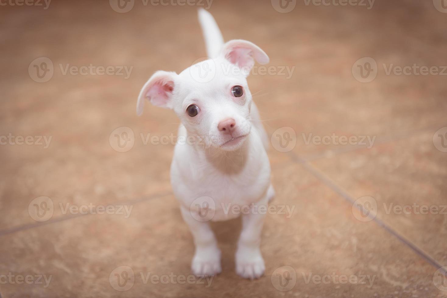 chihuahua blanco foto