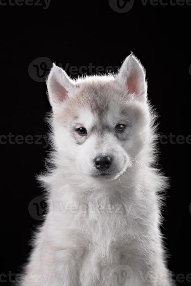 Cute little puppy of syberian husky photo