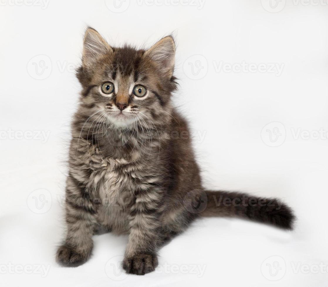 Siberian fluffy tabby kitten sitting on gray photo