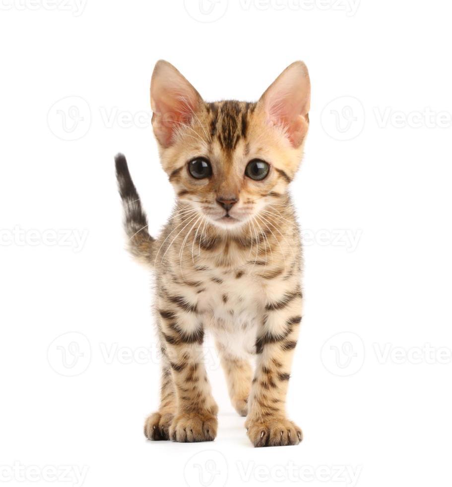 Bengal kitten photo