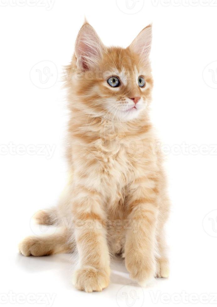 maine coon gatito foto