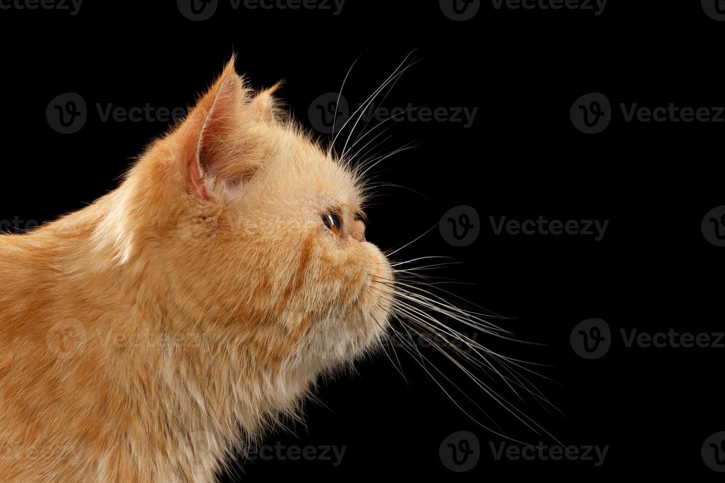 Closeup retrato exótico gato jengibre en vista de perfil en negro foto
