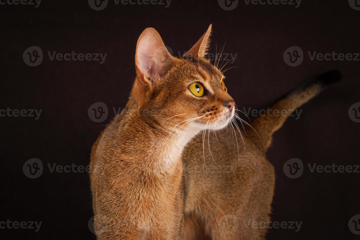 Ruddy abyssinian cat on black brown background photo