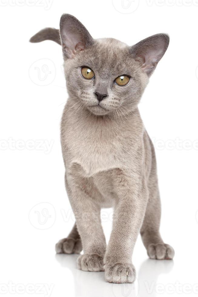 Burmese kitten Close-up portrait photo