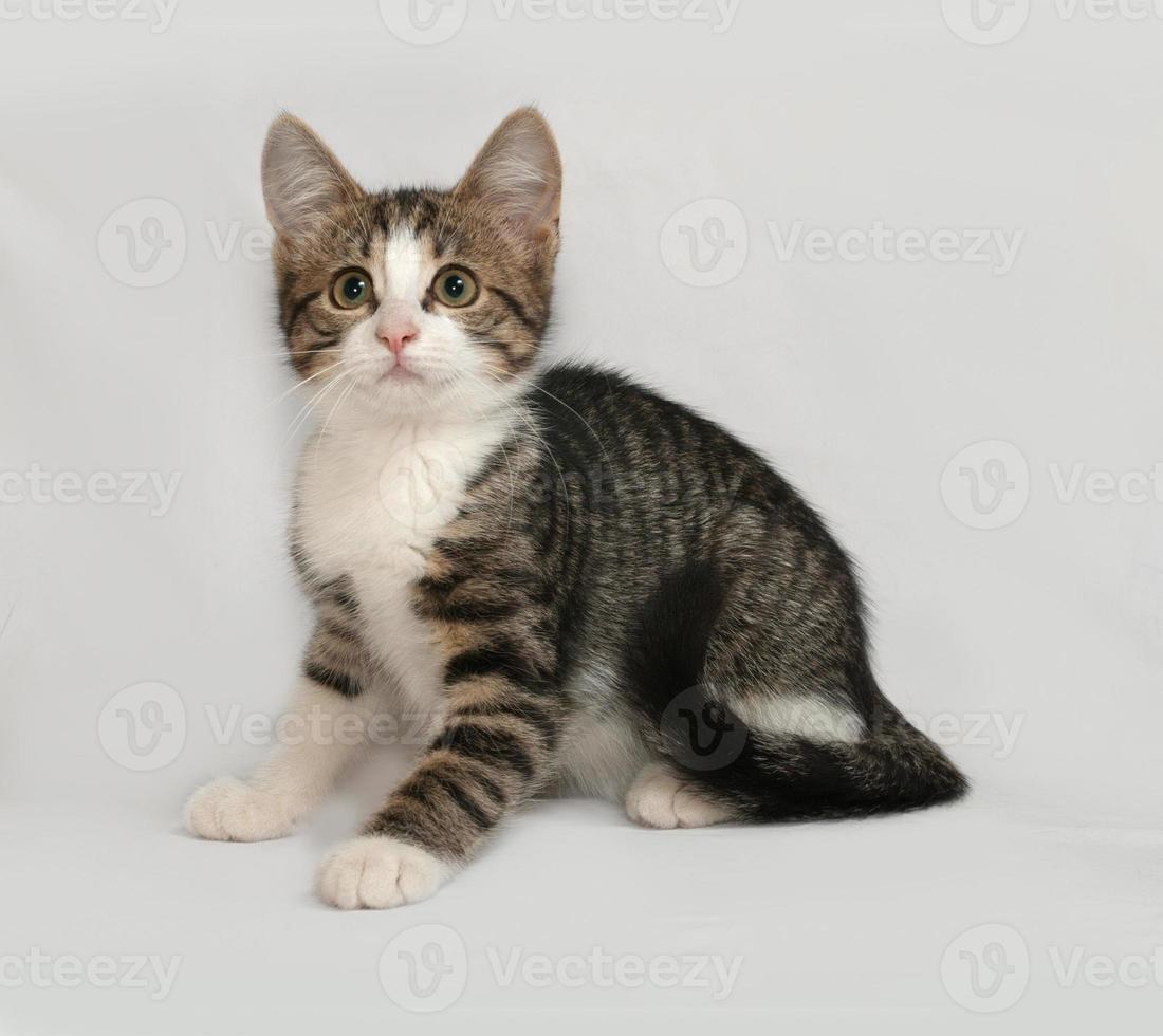 Striped and white kitten sitting on gray photo