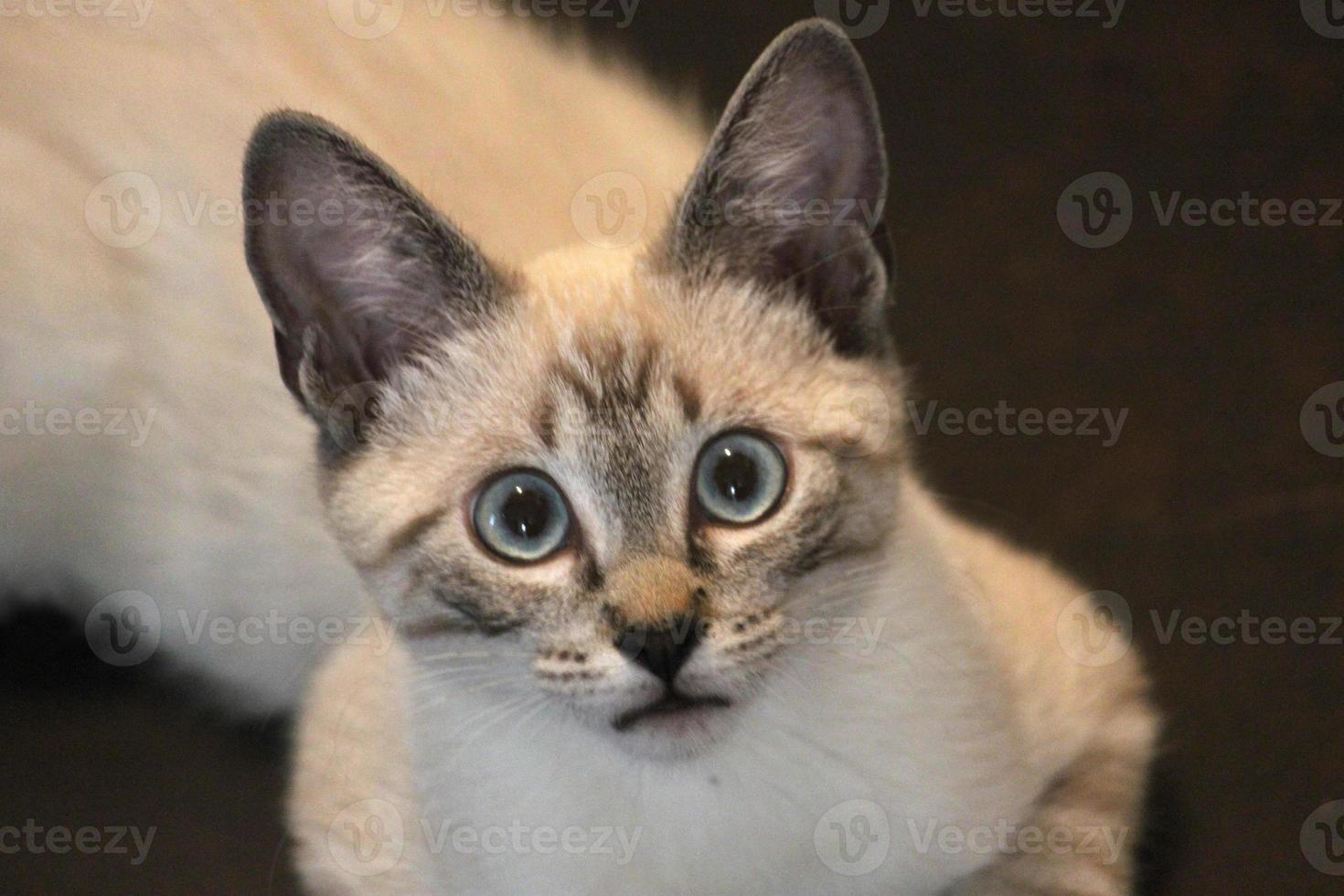gatito siamés con ojos tristes foto