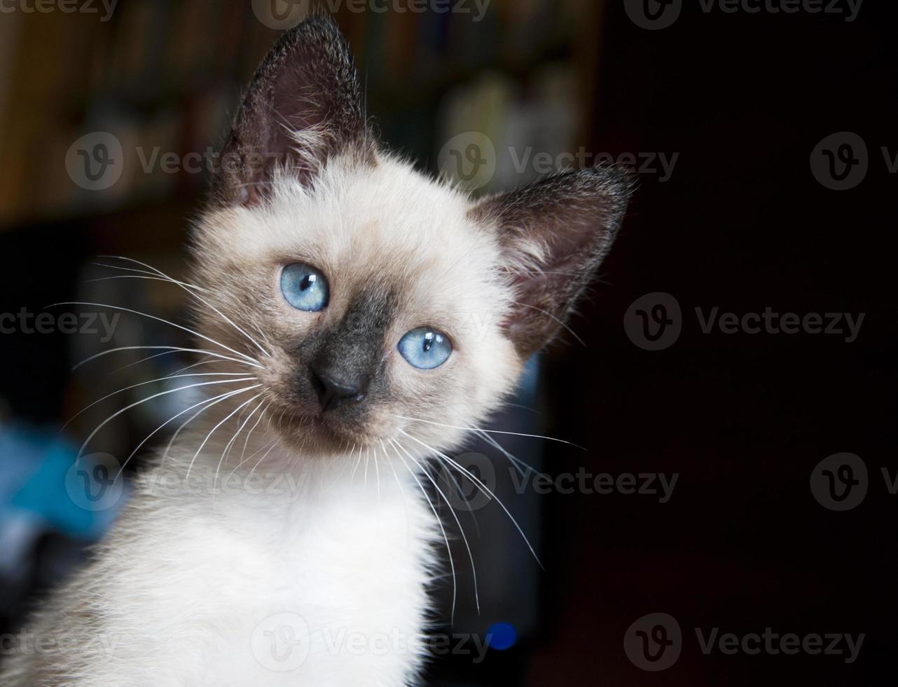 gatito siamés foto