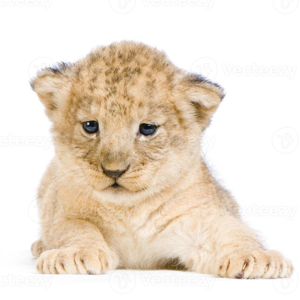 cachorro de león amarillo que se establecen sobre un fondo blanco foto