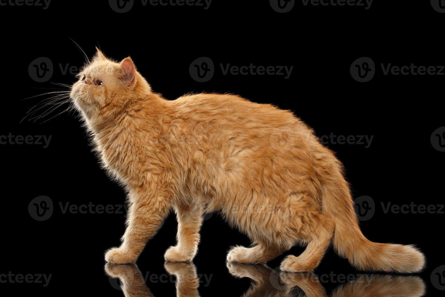 gato exótico jengibre se encuentra en espejo negro foto