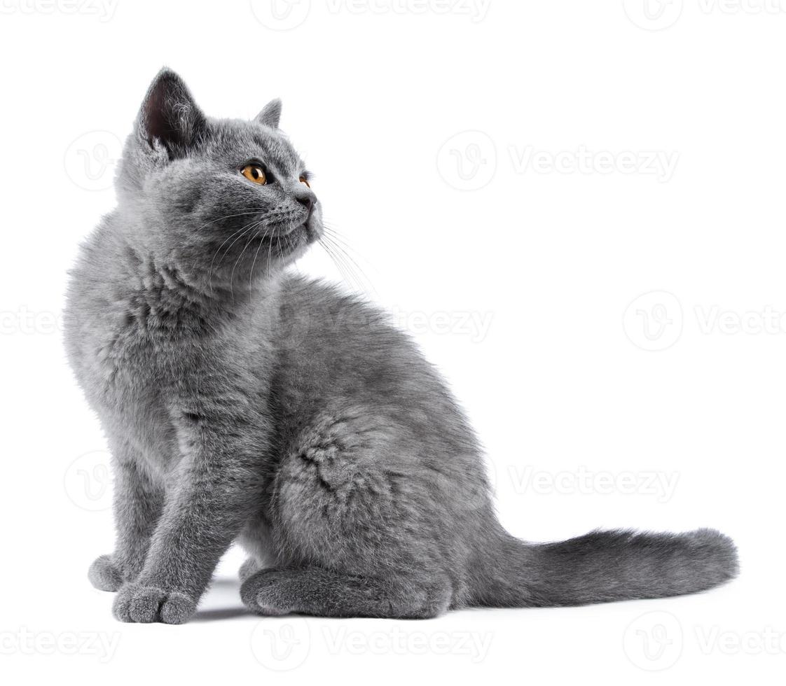 blue kitten photo