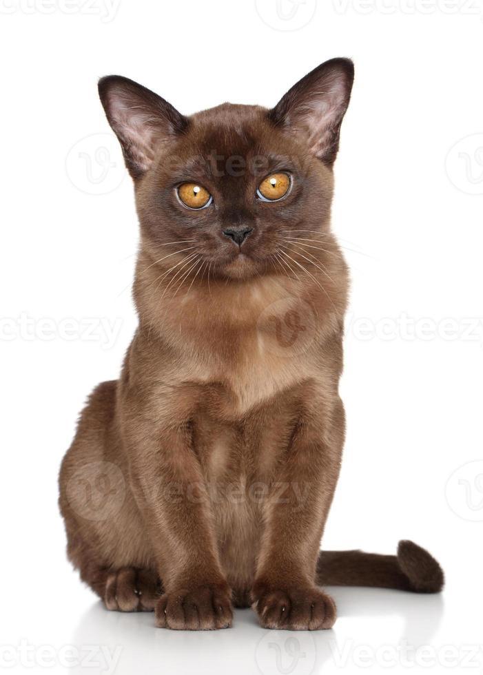 Burmese kitten photo
