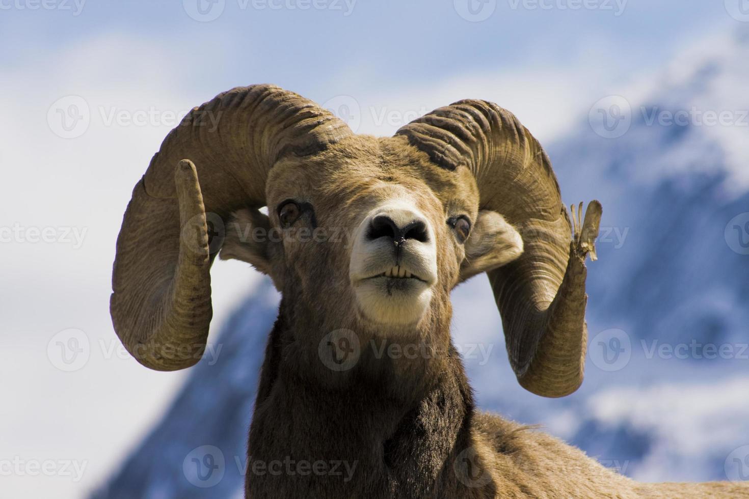 cabeza de oveja con cuernos grandes foto