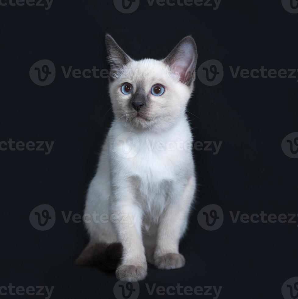 Little Thai kitten sitting on dark gray photo