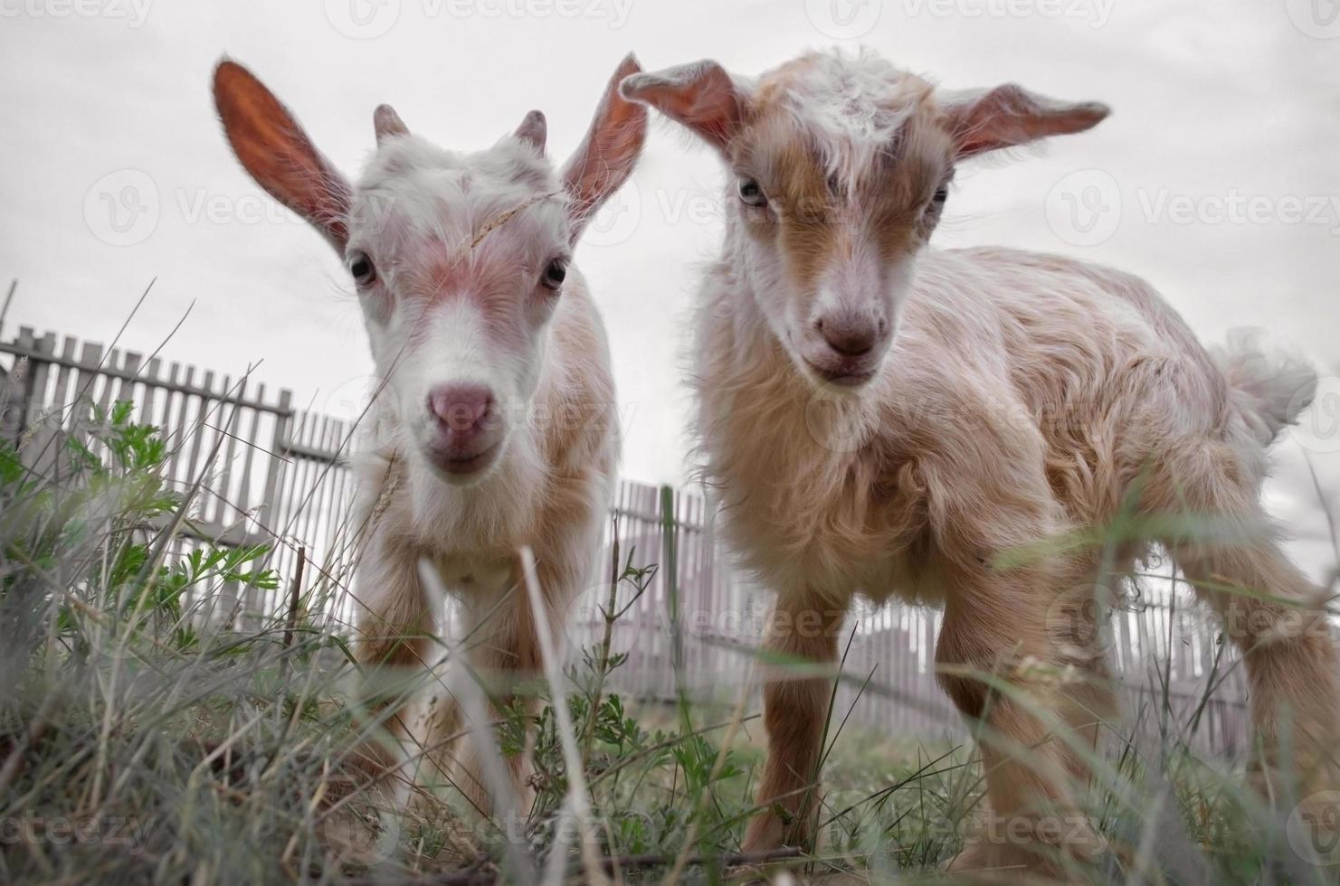 Kids of goat photo