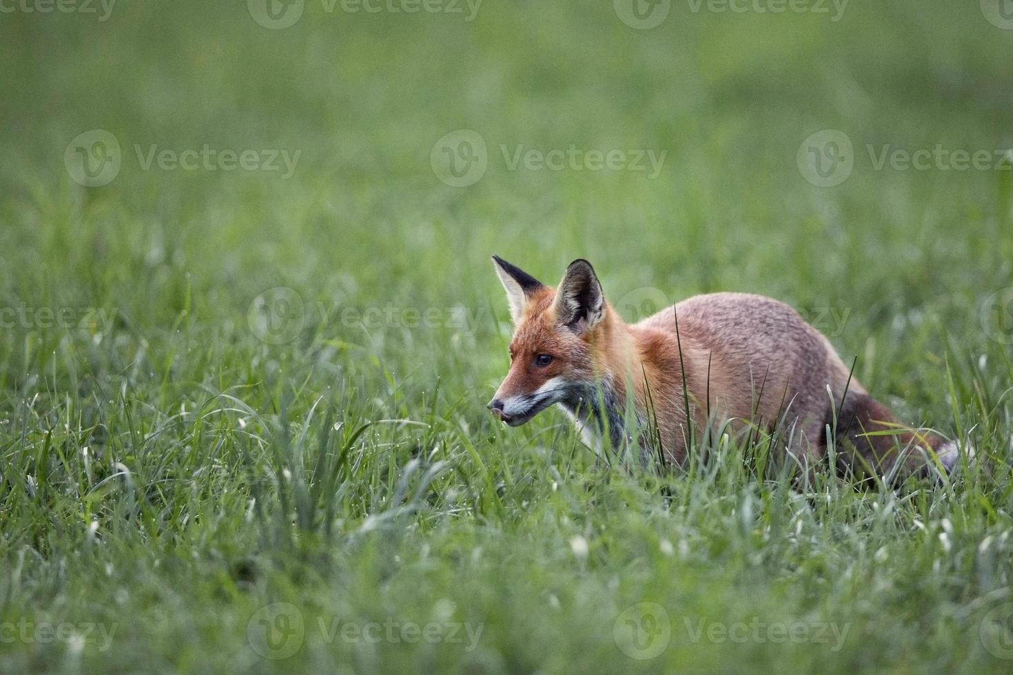 Fox in the morning dew photo