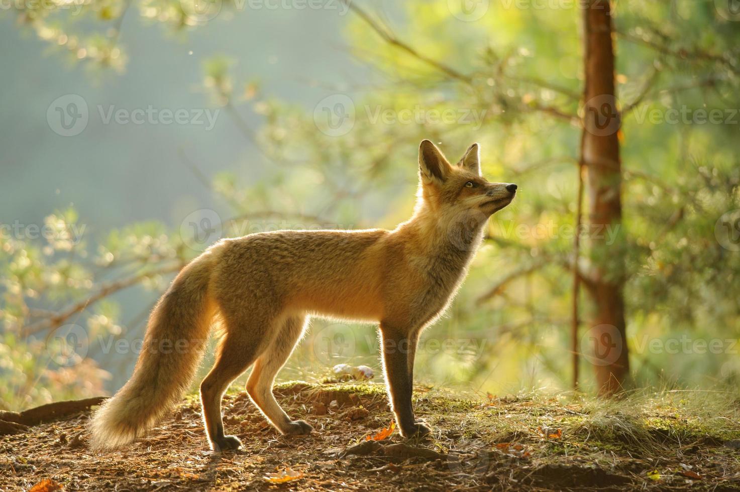 zorro rojo desde la vista lateral en la luz de fondo de belleza bosque de otoño foto