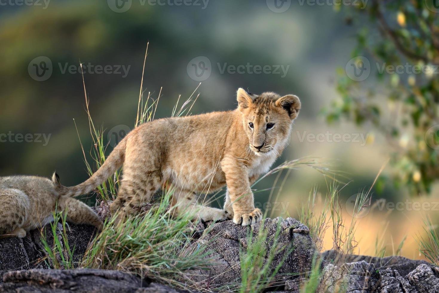 cachorro de león, parque nacional de kenia, áfrica foto