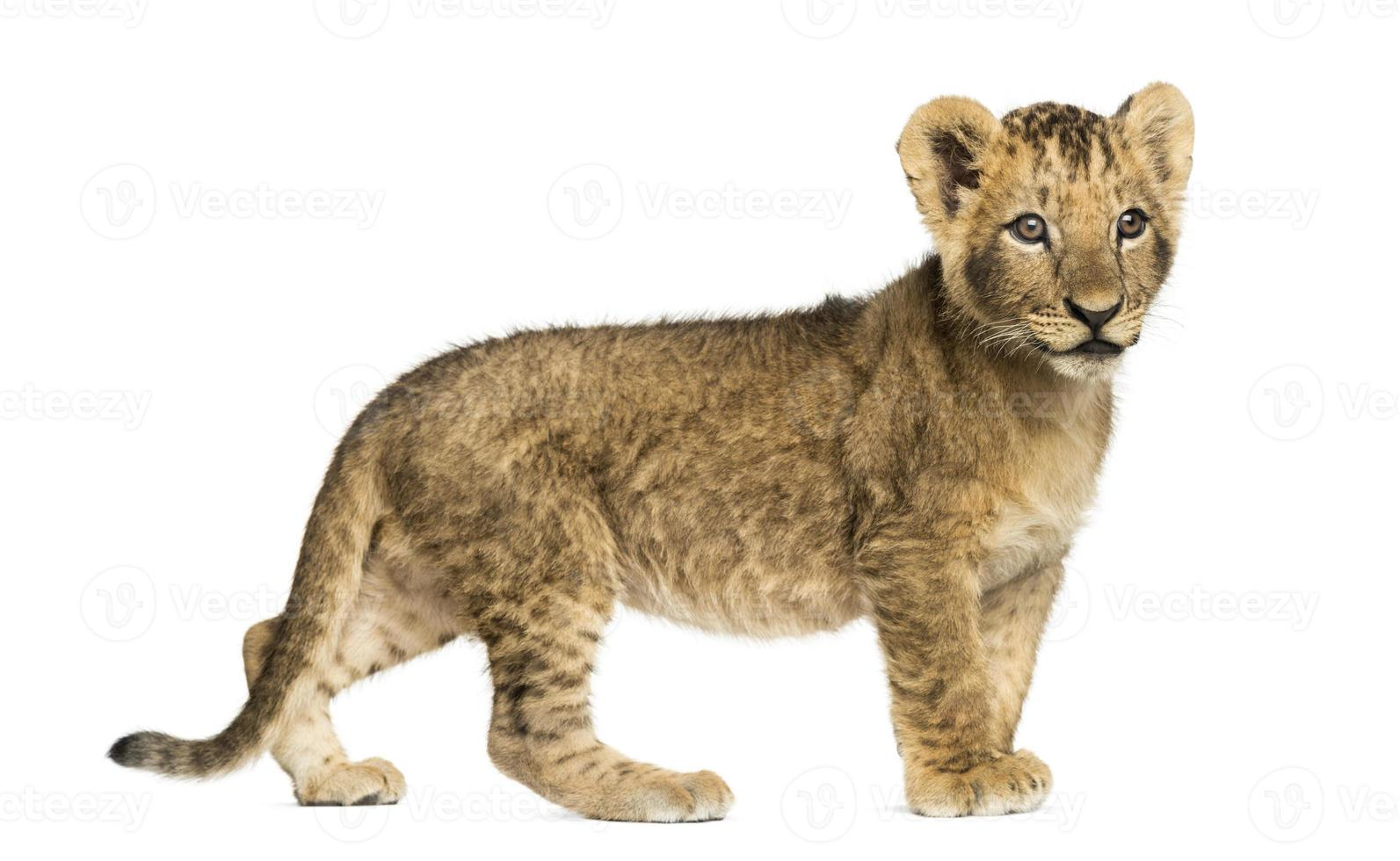 Vista lateral de un cachorro de león de pie, mirando a otro lado foto