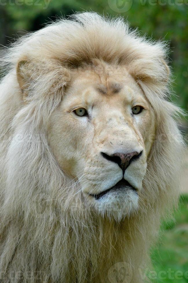 retrato de león blanco foto