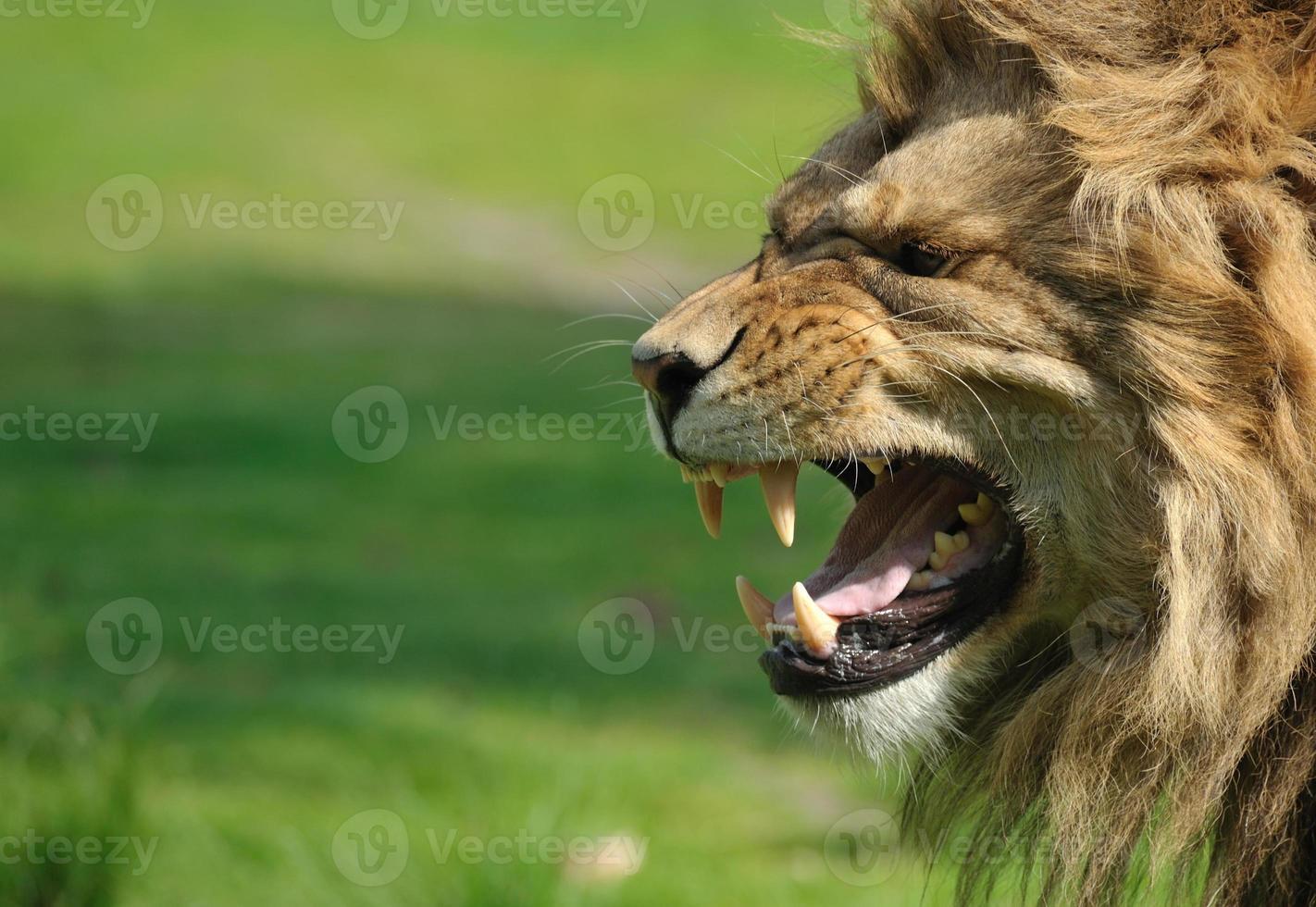 león enojado foto