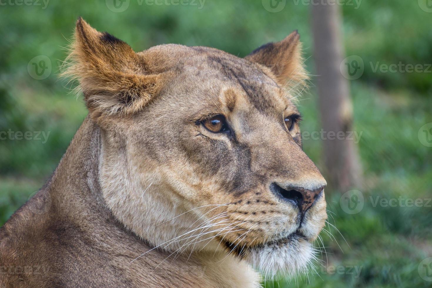 madre león foto