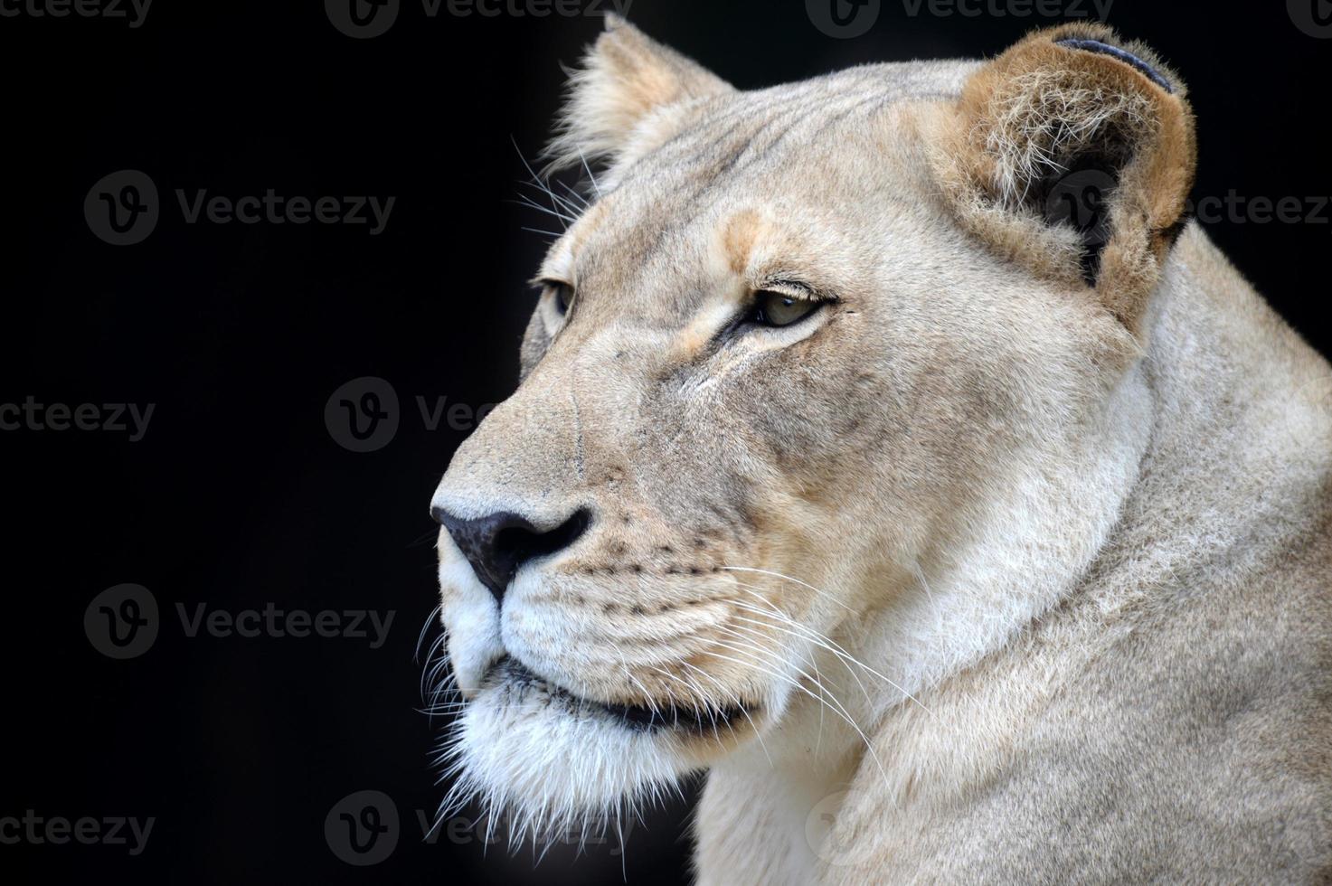 león africano foto