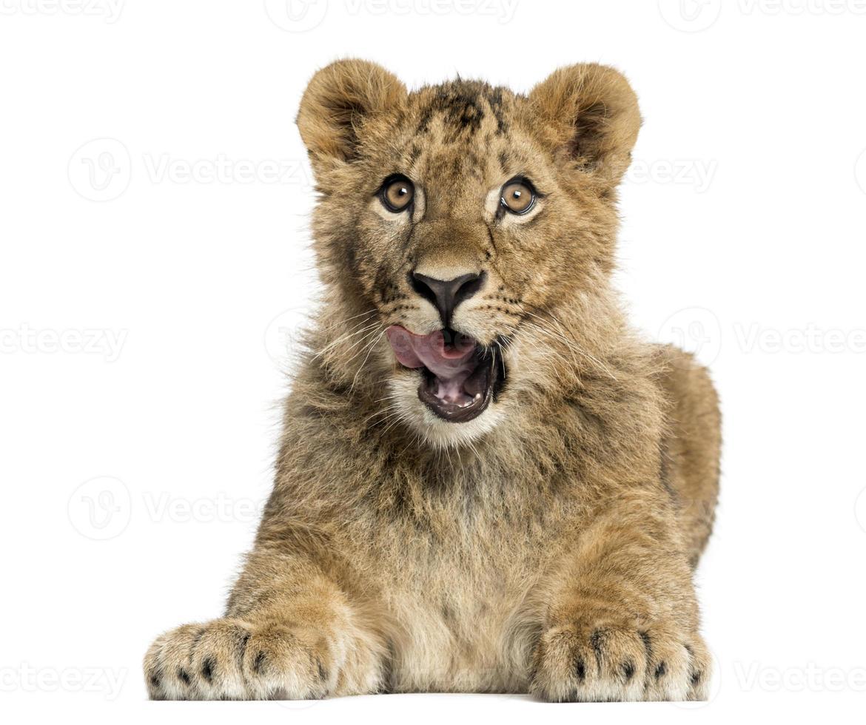 cachorro de león acostado y mirando con avidez foto