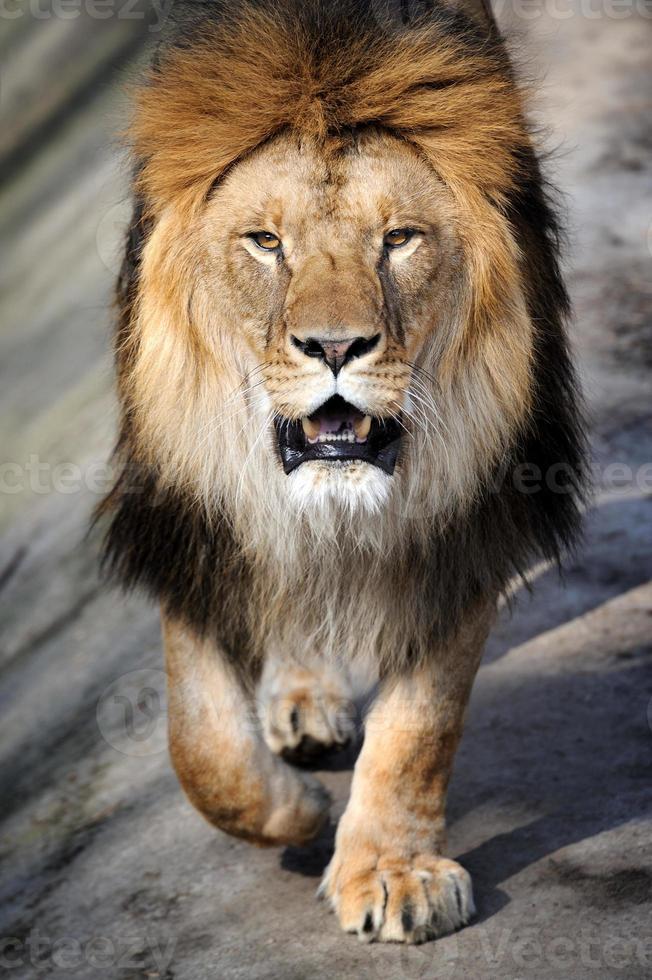 Close-up lion photo