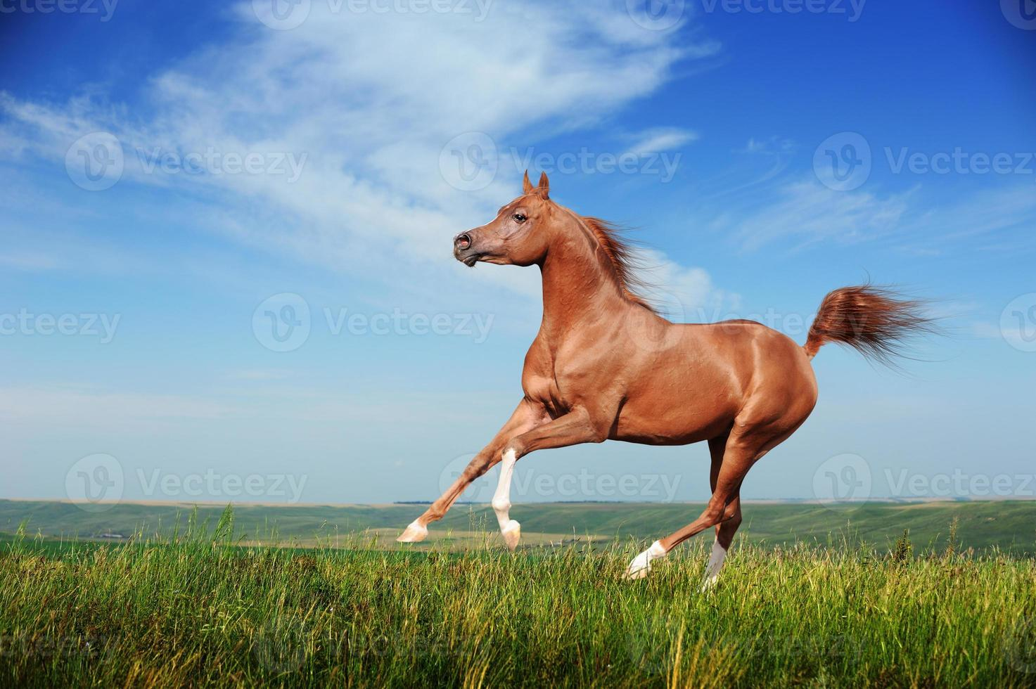 Beautiful red arabian horse running gallop photo