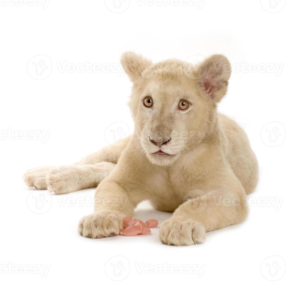 cachorro de león blanco (5 meses) foto