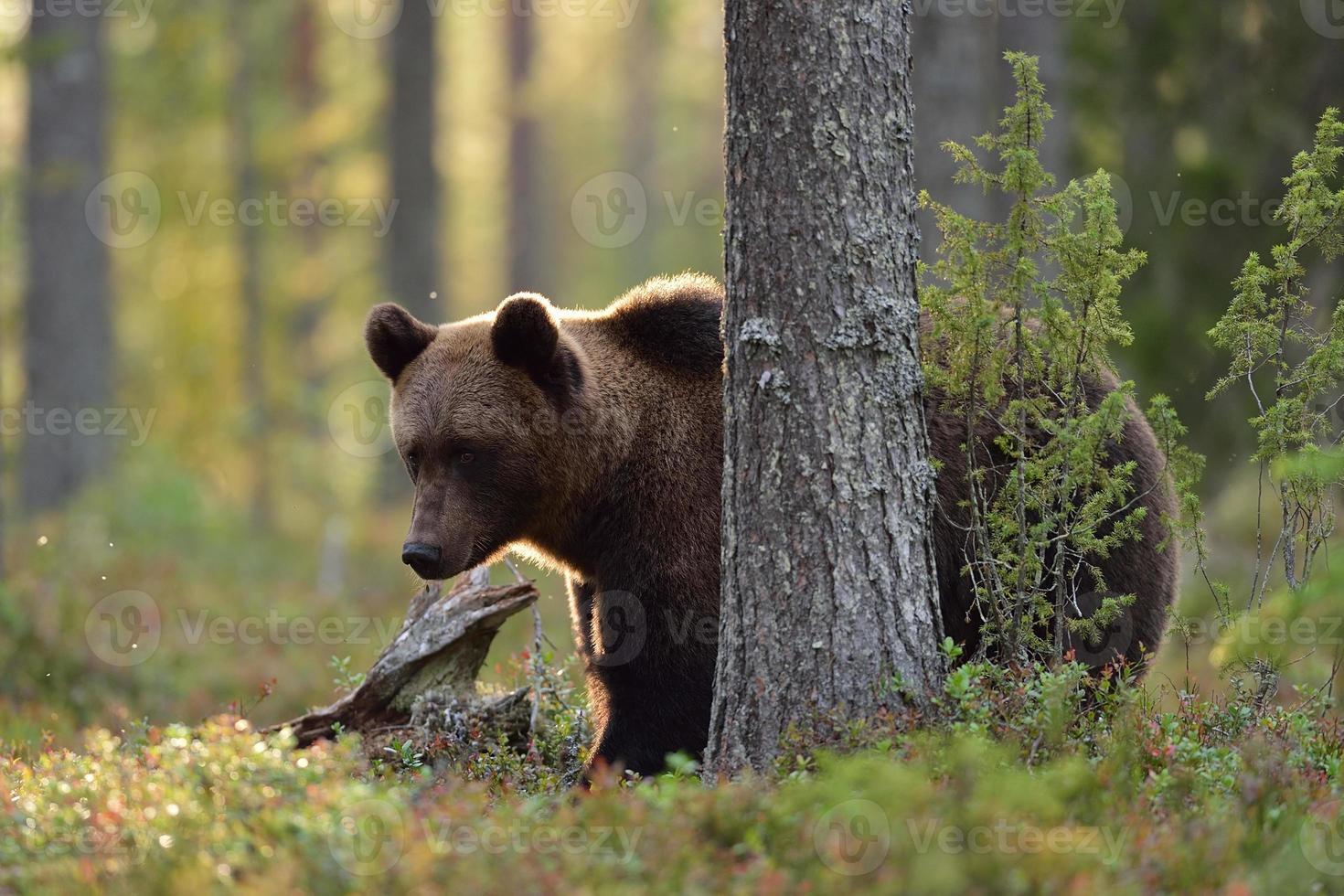oso pardo en el bosque en otoño foto
