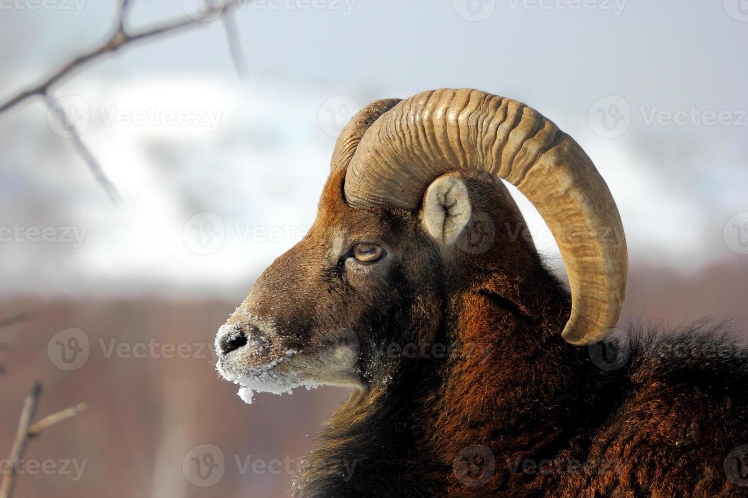muflón macho en invierno foto