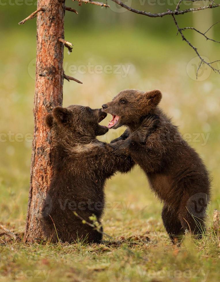 cachorros de oso pardo euroasiático (ursos arctos) foto