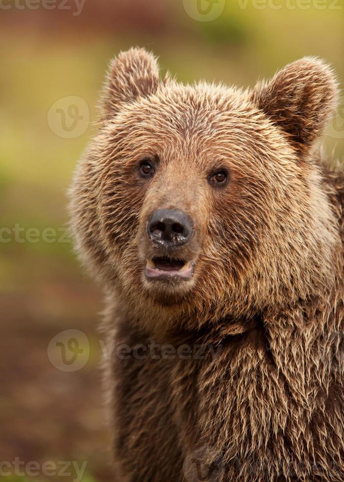oso pardo euroasiático (ursos arctos) foto