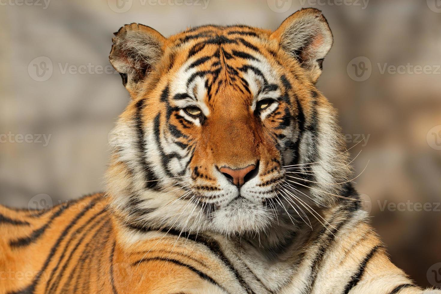 retrato de tigre de bengala foto