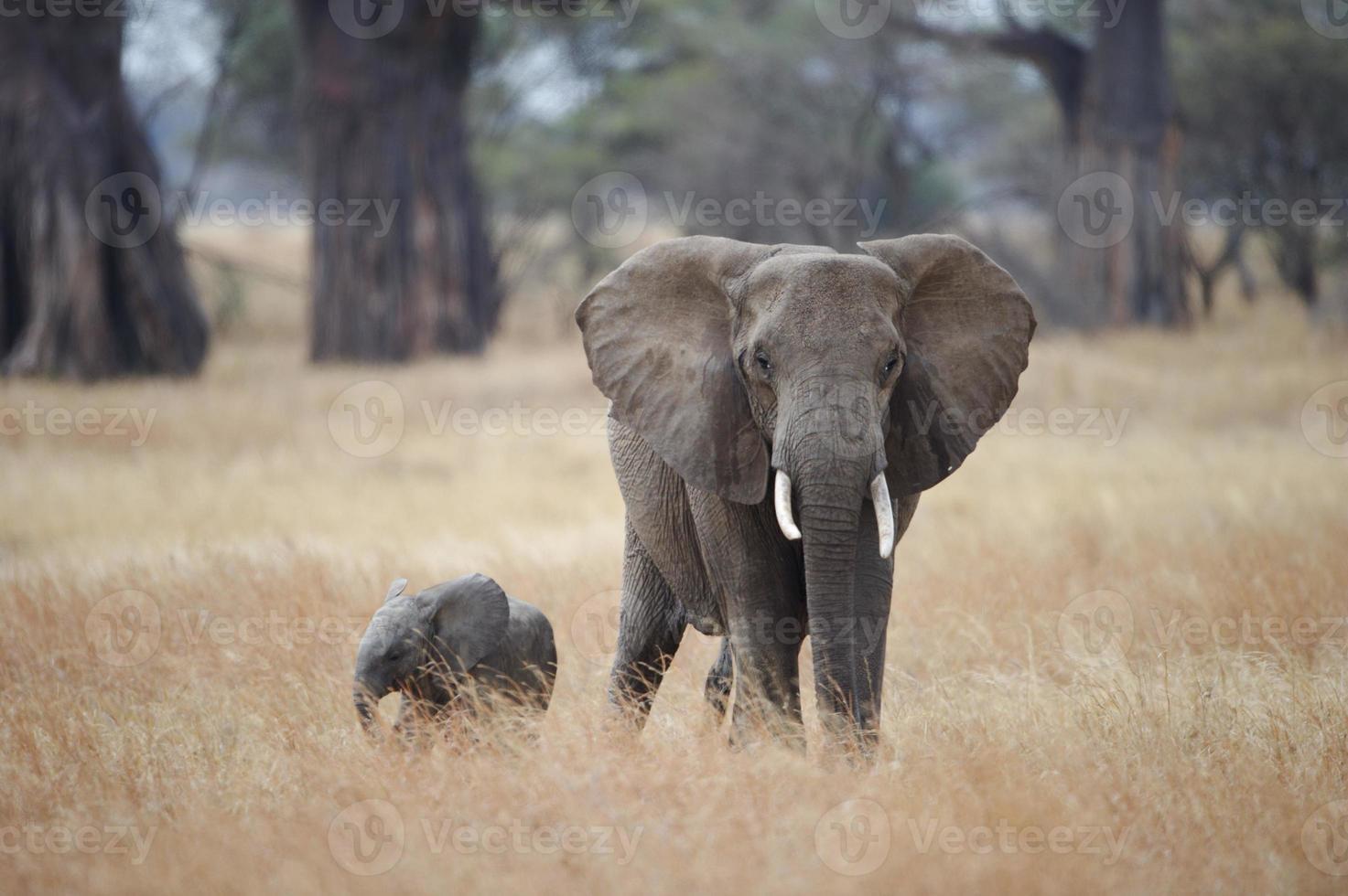 elefante africano y su cría foto