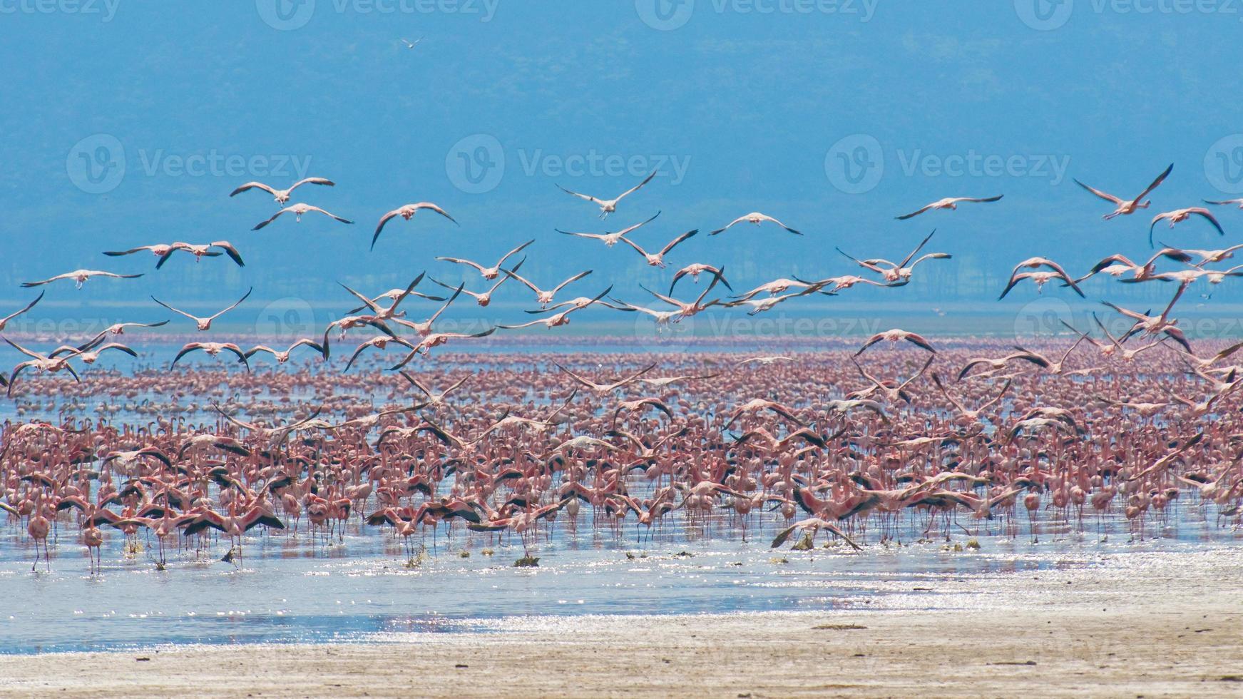 flocks of flamingos in the sunrise, lake nakuru, kenya photo