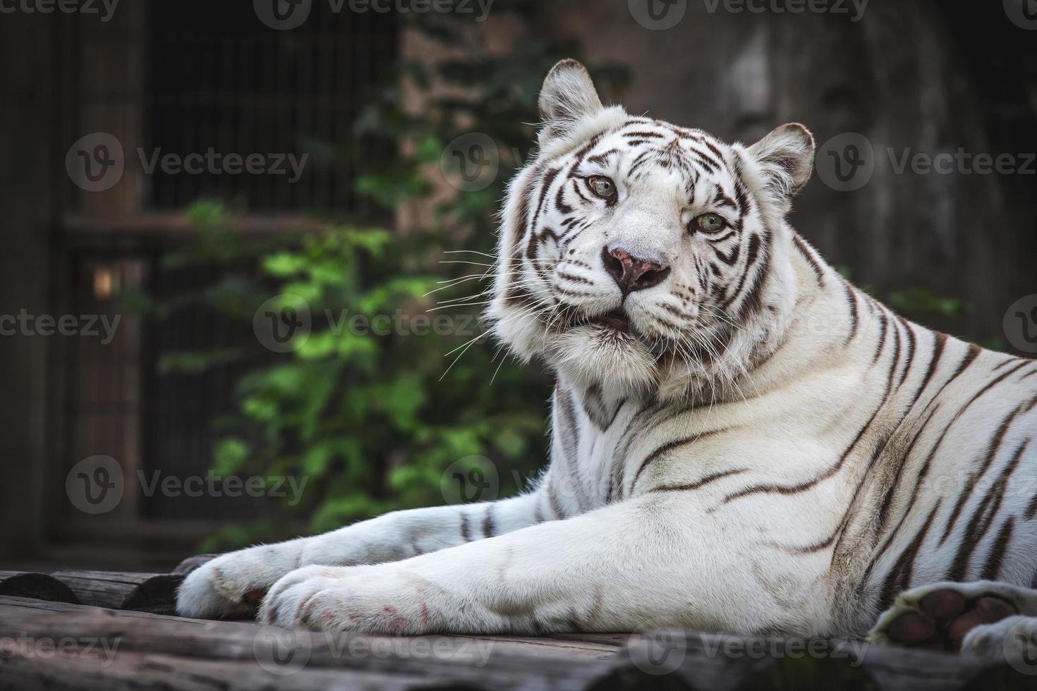 blanco magnífico salvaje foto