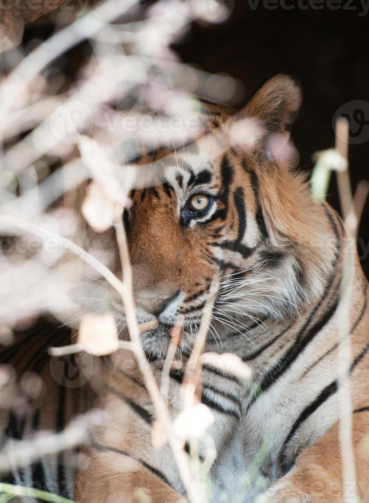 tigre de bengala mirando por un arbusto foto