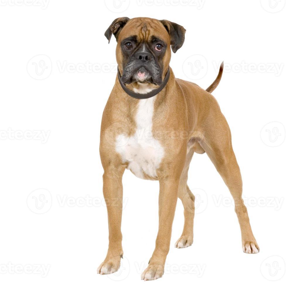 Perro boxer marrón se puso de pie sobre fondo blanco. foto