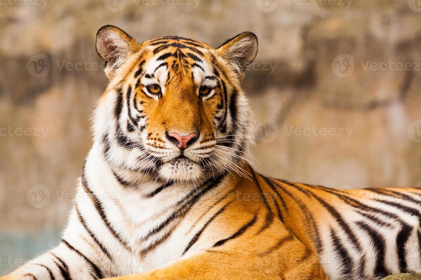 Big Tiger staring photo