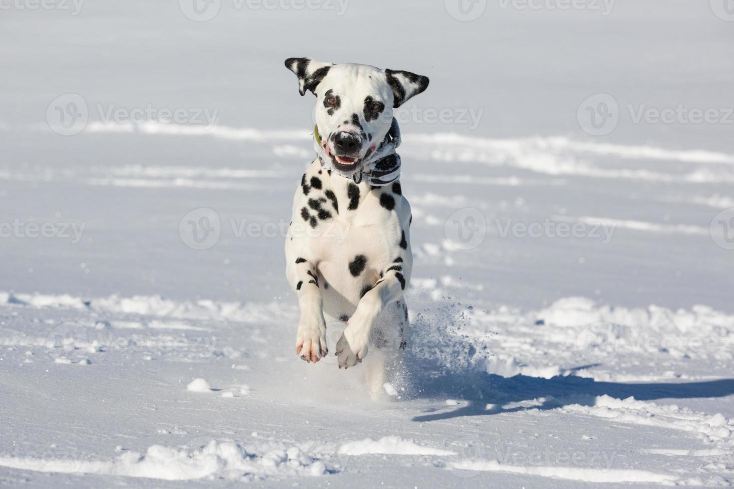 perro dálmata corriendo y saltando en la nieve foto