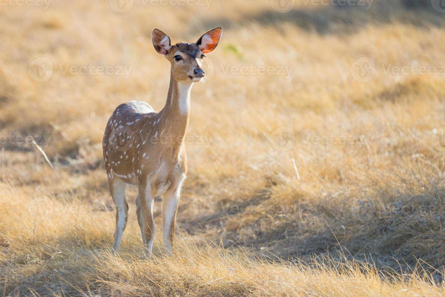 Spotted Deer Doe photo