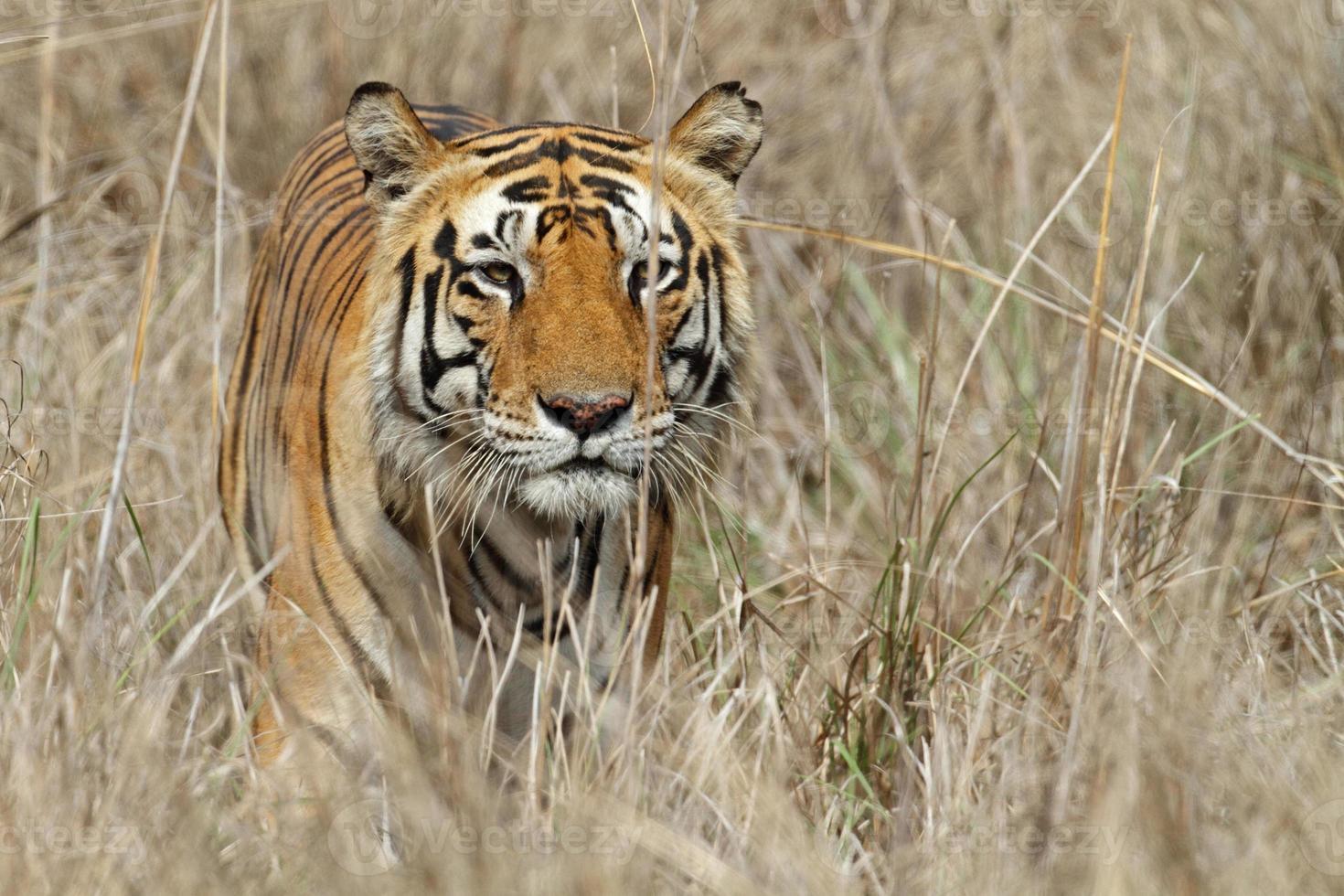 Tigre de Bengala salvaje macho escabullirse a través de la hierba, India foto