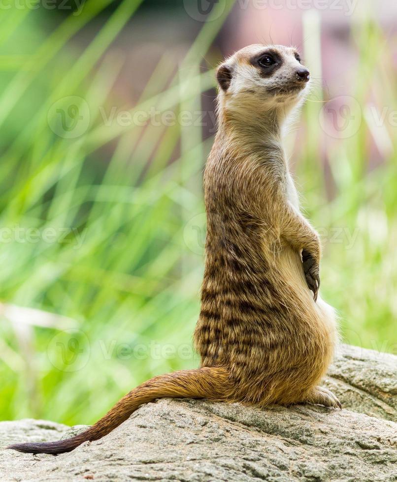 el suricato foto