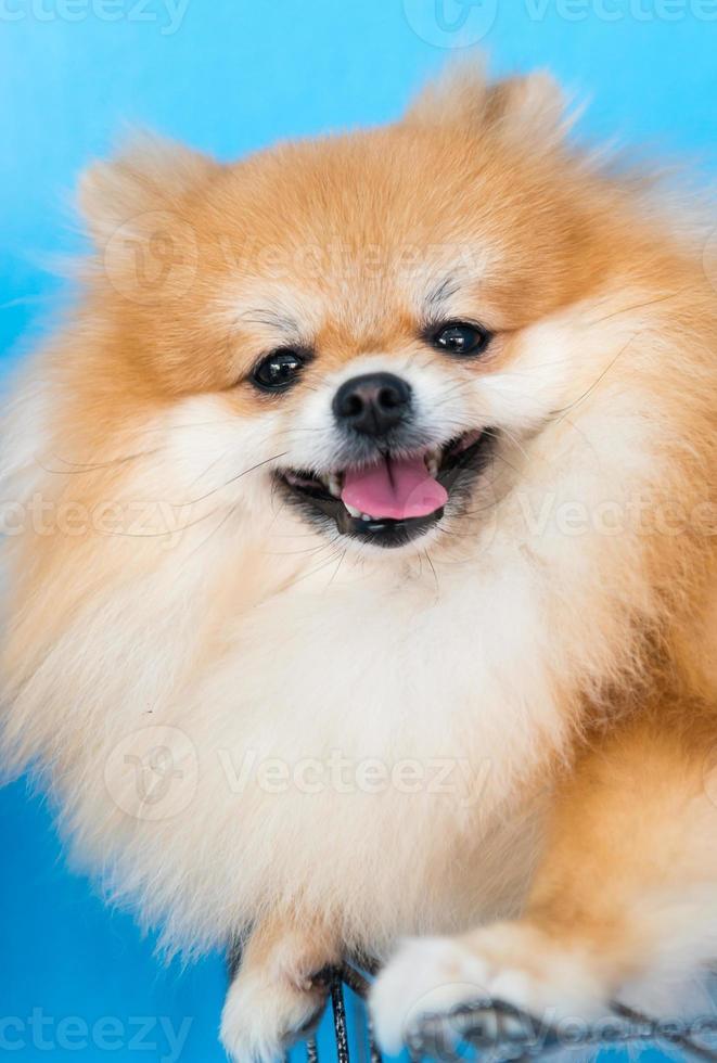 lindo perro pomerania marrón foto