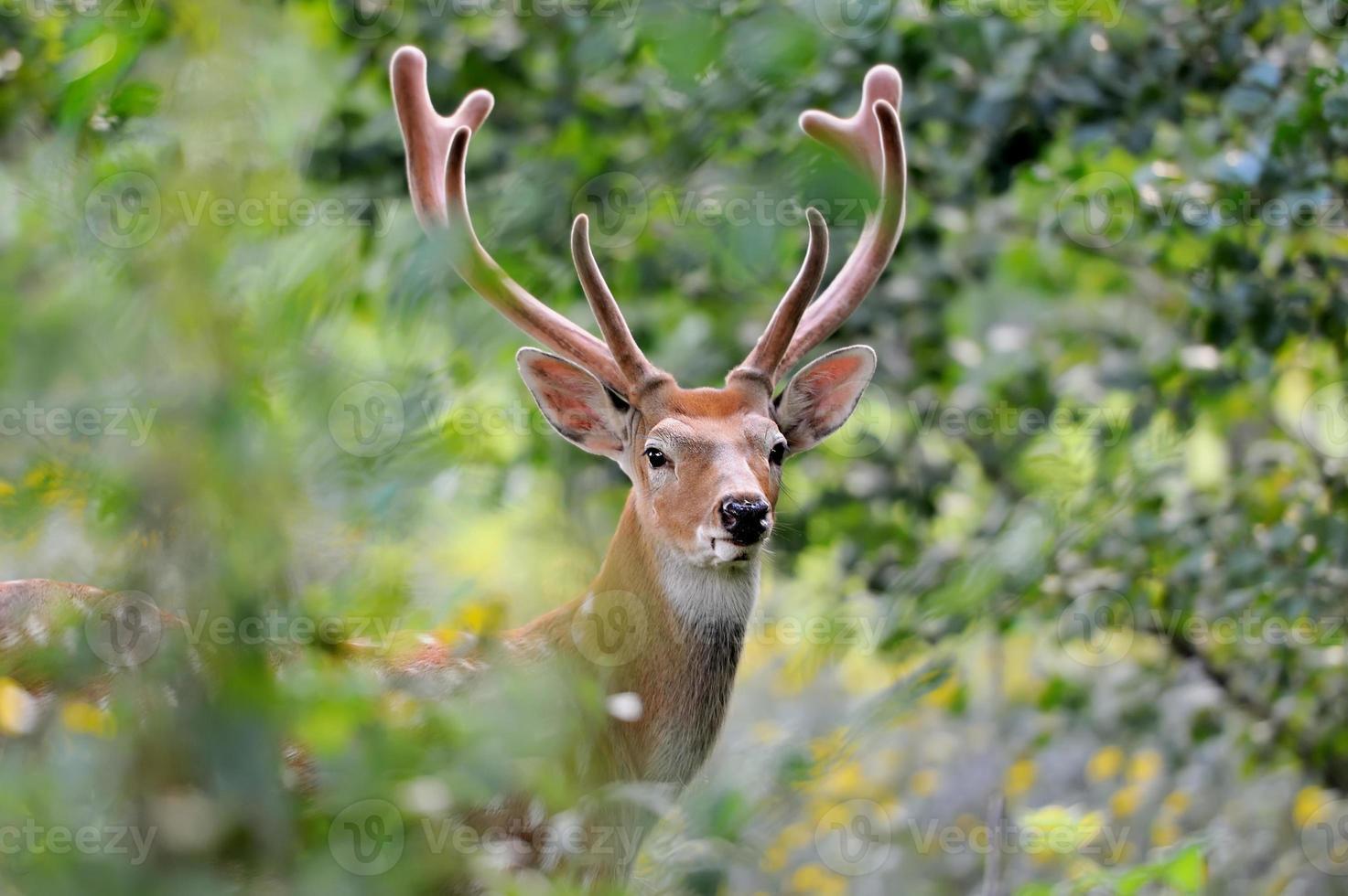Whitetail deer photo