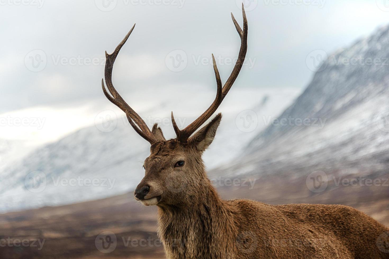 Scottish red stag photo